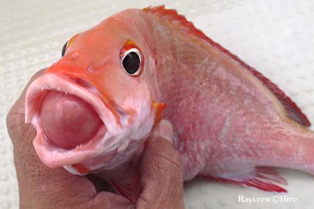 魚の口から出た丸い内蔵の正体はこれ!