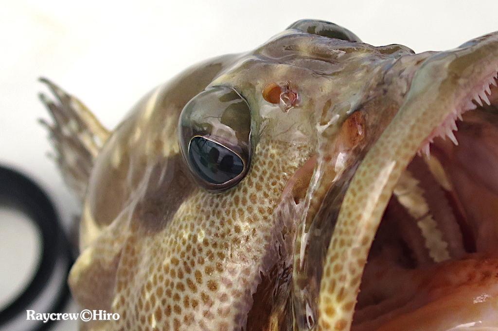 魚の眼・本家本元の【フィッシュアイ・魚眼レンズ】