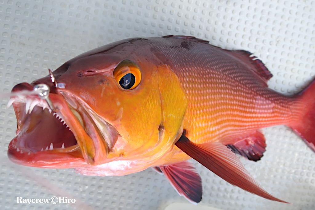 シガテラとは【マーシャル諸島の魚達の実態】