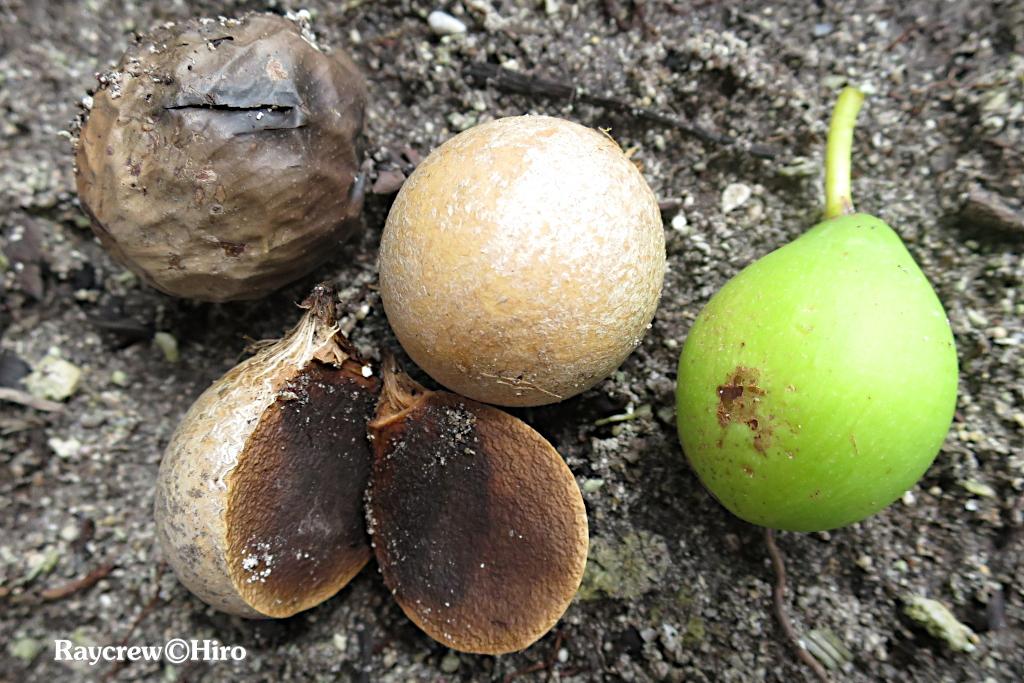 【テリハボク】南国マーシャル諸島の大きな木と黄緑色の実の正体