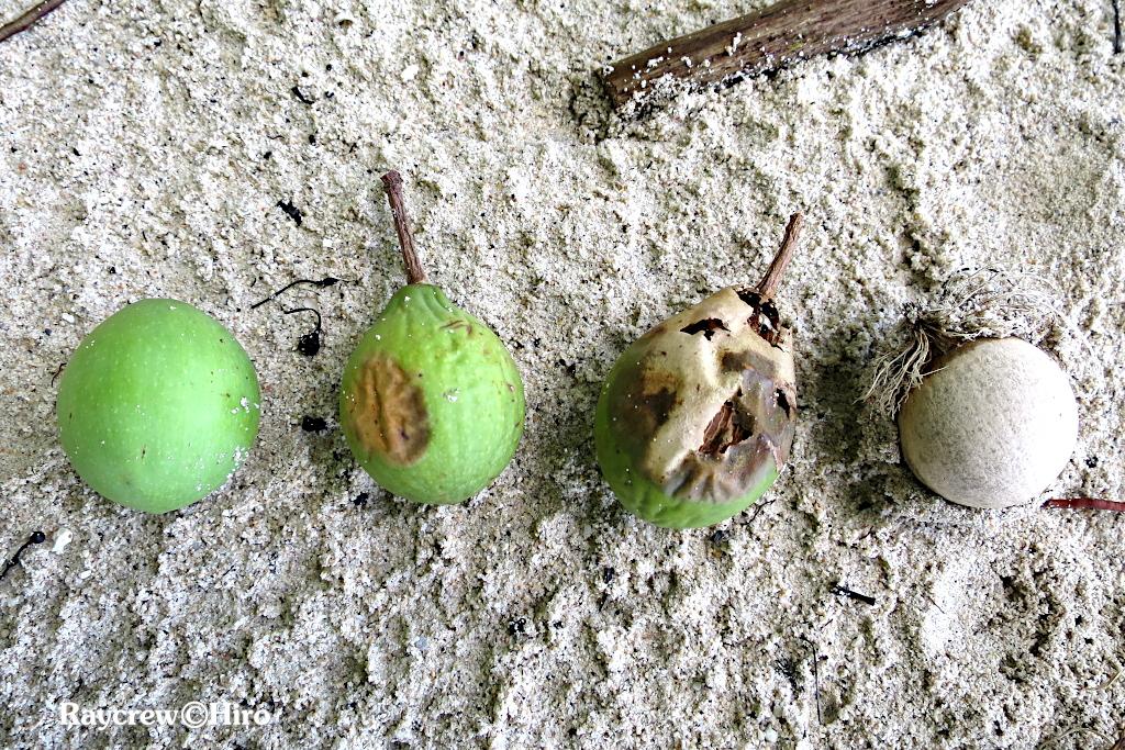 南国マーシャル諸島の大きな木【テリハボク】黄緑色の実の正体