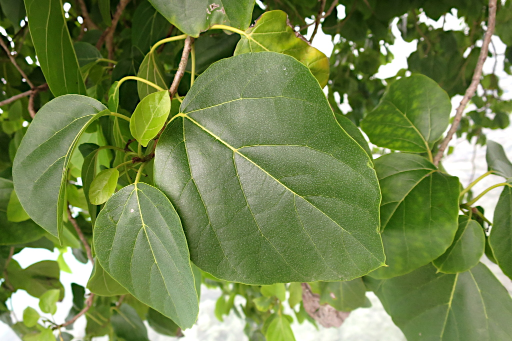 【キバナイヌジシャ】南国マーシャル諸島の大きな木とオレンジ色の花