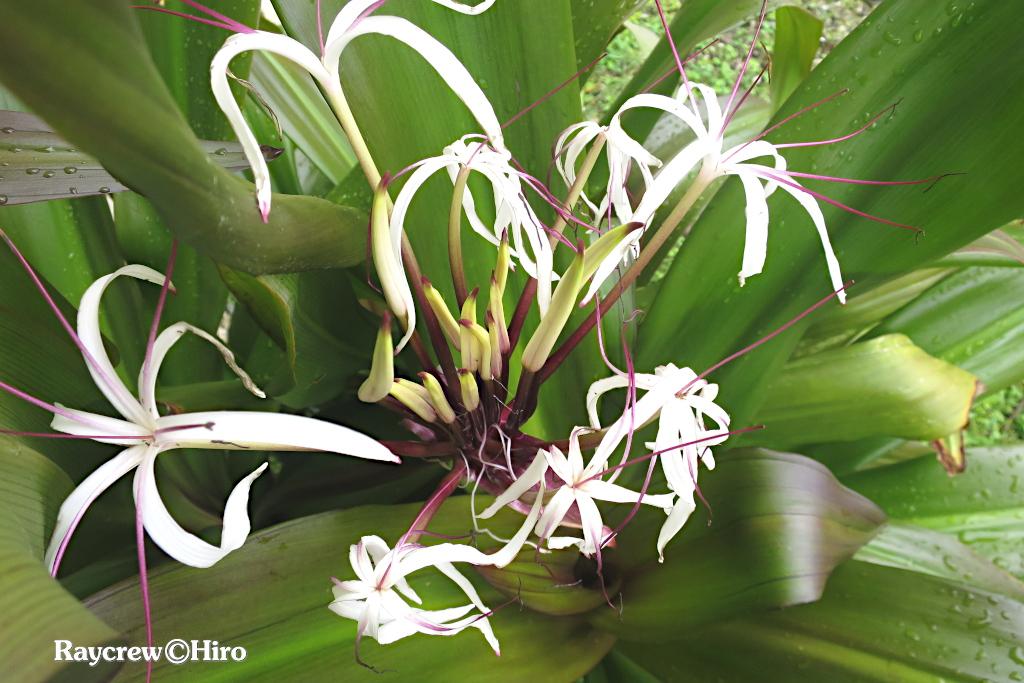 【【ハマユウ】南国マーシャル諸島の身近な海浜植物