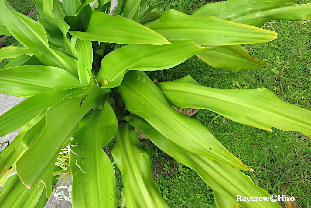【ハマユウ】南国マーシャル諸島の身近な海浜植物