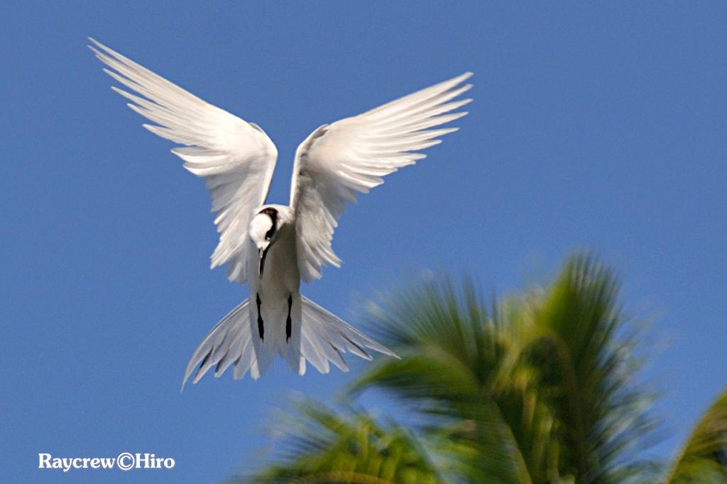【エリグロアジサシ】マーシャル諸島の頭部に黒いハチマキ柄の白い鳥