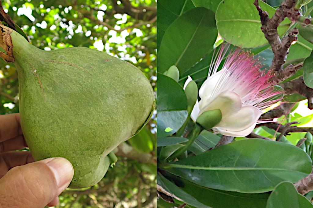 【ゴバンノアシ】南国マーシャル諸島の大きな木とサガリバナ似の花
