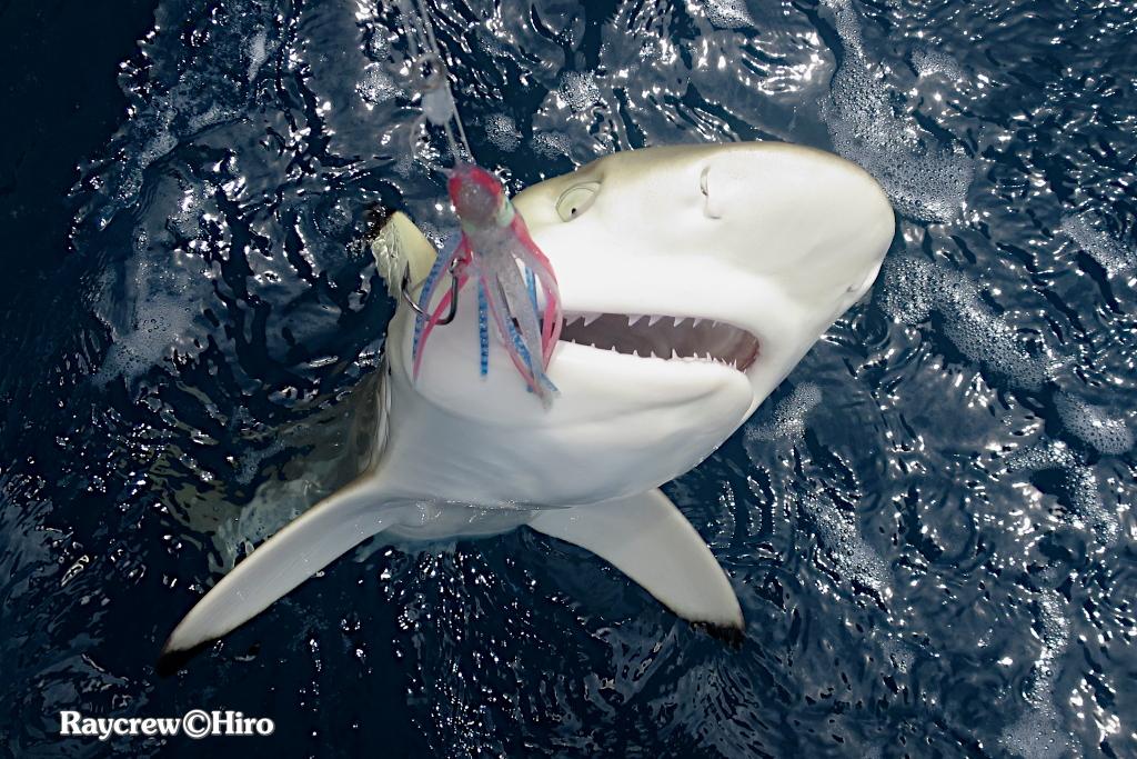 マーシャル諸島のサメ【ツマグロ・ブラックチップリーフシャーク】