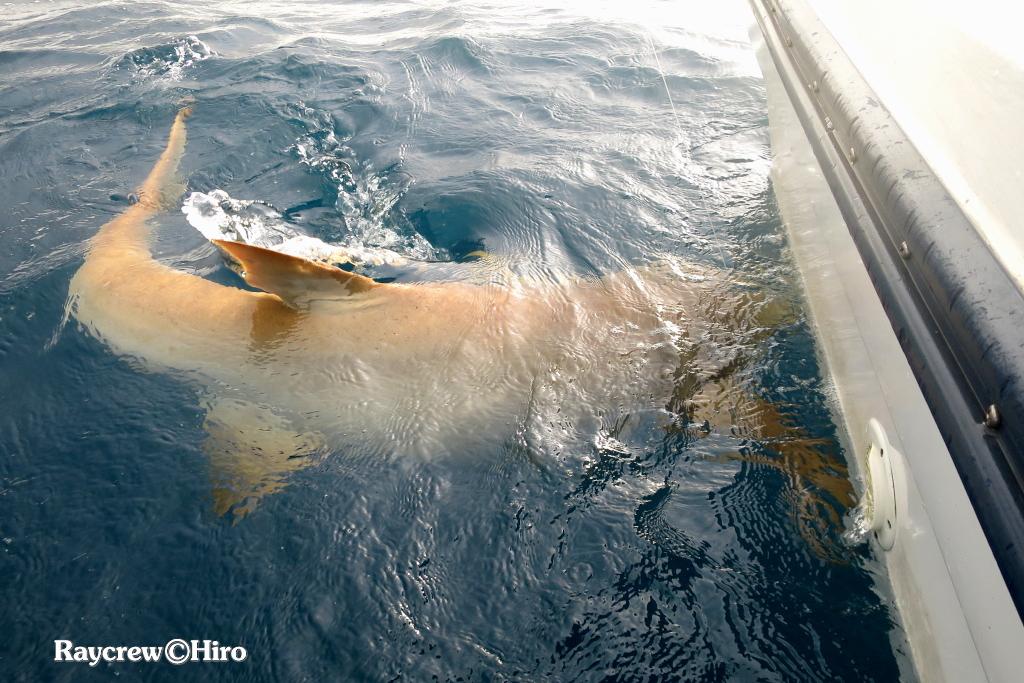 オオテンジクザメを釣り上げようとするとこうなる!?【ナースシャーク】