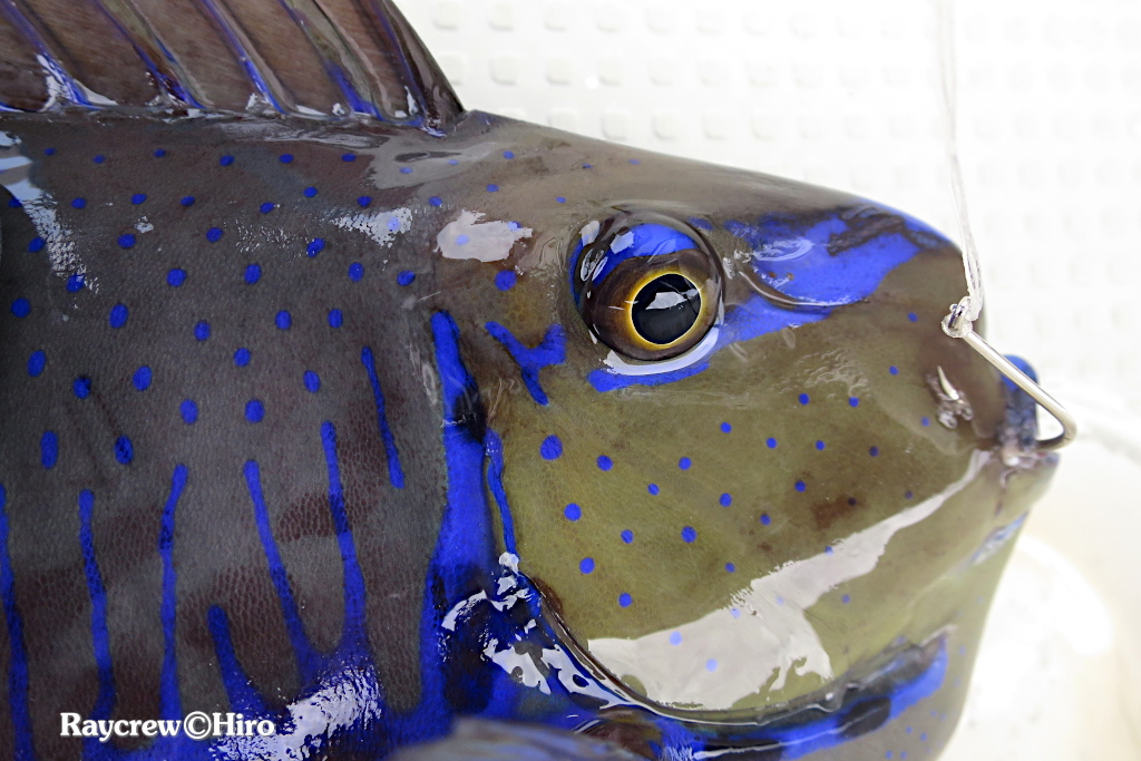 マーシャル諸島のニオイが臭い確率が高い魚達【釣った直後に要確認!】