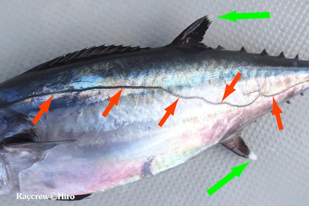 ハンドライントローリング【マジュロ環礁でイソマグロを釣る】